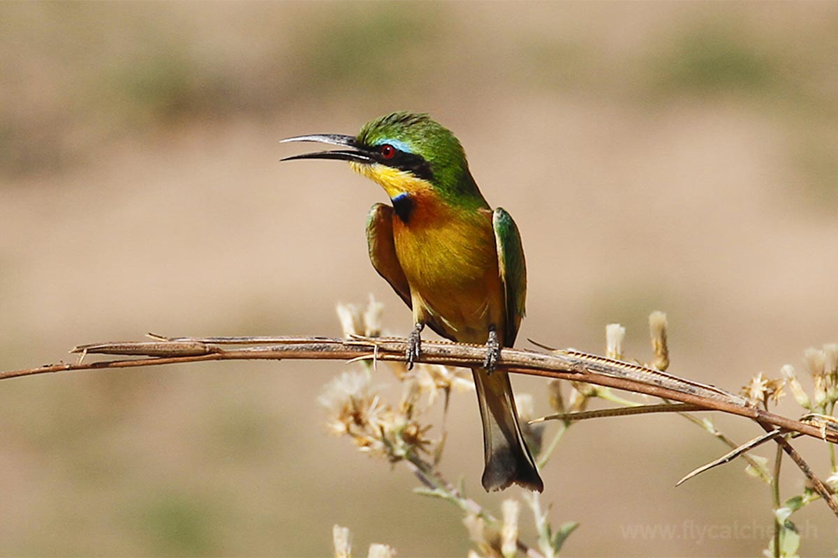 Bee-eater im Ruaha Nationalpark